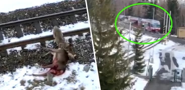 vlk útok jeleň tatry vlak